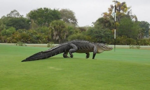 alligator on golf Course_2